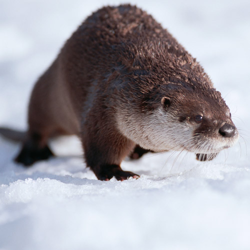 Animal Planet answer: OTTER