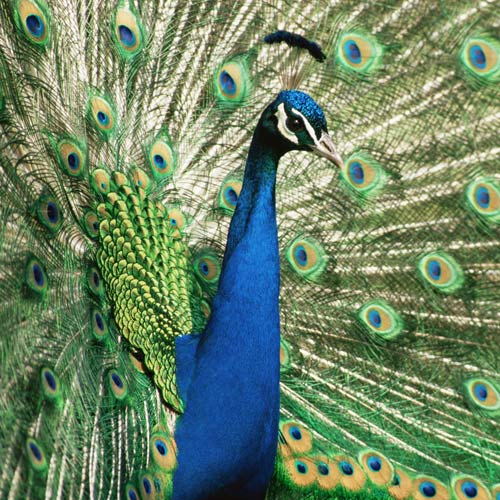 Animal Planet answer: PEACOCK