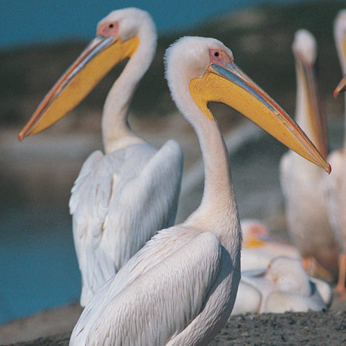 Animal Planet answer: PELICAN