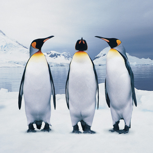 Animal Planet answer: PENGUIN