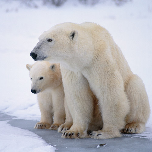 Animal Planet answer: POLAR BEAR
