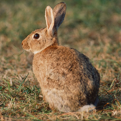 Animal Planet answer: RABBIT