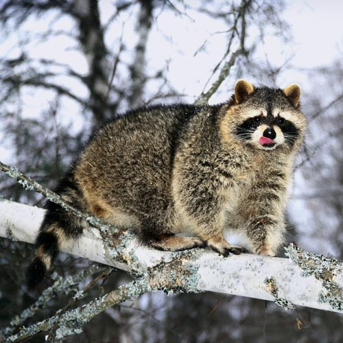 Animal Planet answer: RACCOON