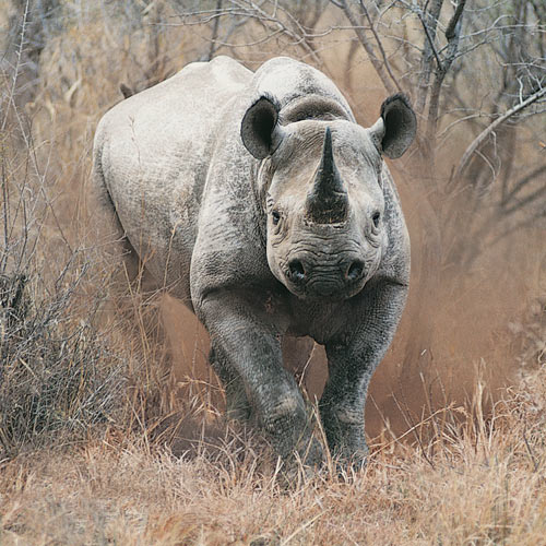Animal Planet answer: RHINO