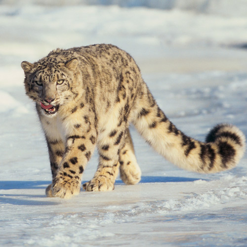 Animal Planet answer: SNOW LEOPARD