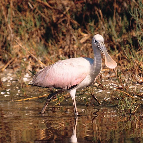 Animal Planet answer: SPOONBILL