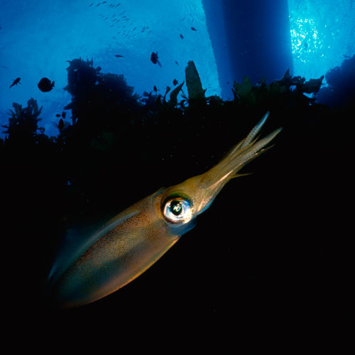 Animal Planet answer: SQUID
