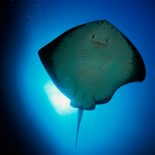 Animal Planet answer: STINGRAY