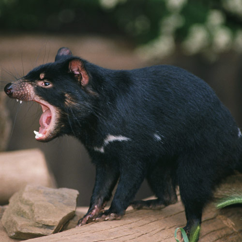 Animal Planet answer: TASMANIAN DEVIL