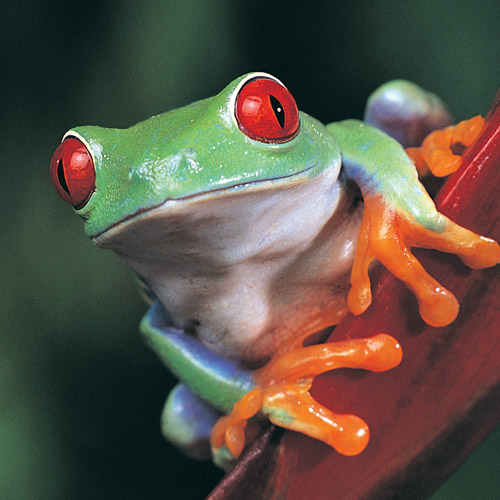 Animal Planet answer: TREE FROG