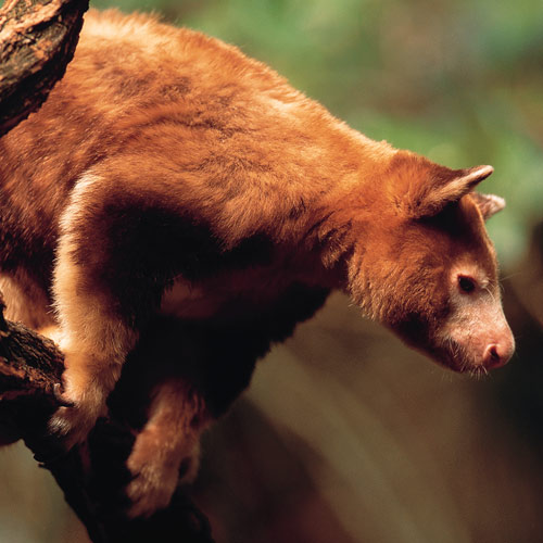 Animal Planet answer: TREE KANGAROO