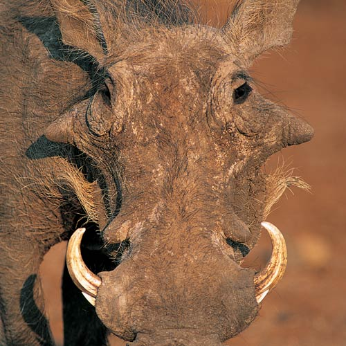 Animal Planet answer: WARTHOG