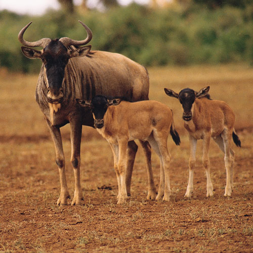 Animal Planet answer: WILDEBEEST