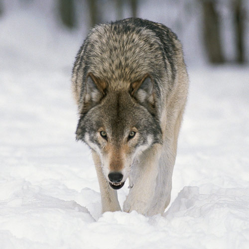 Animal Planet answer: WOLF