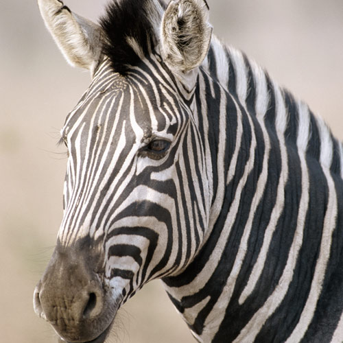 Animal Planet answer: ZEBRA