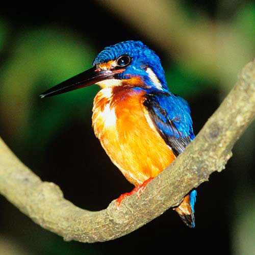 Animals answer: KINGFISHER