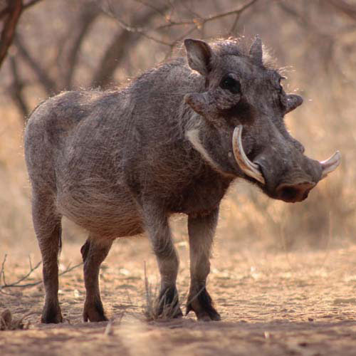 Animals answer: WARTHOG