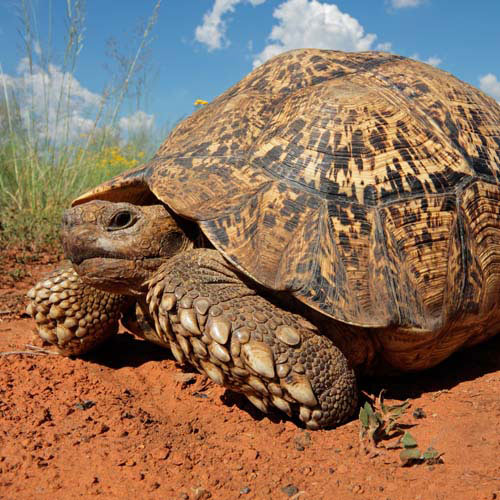Animals answer: TORTOISE
