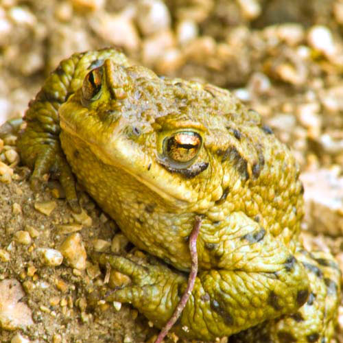 Animals answer: TOAD