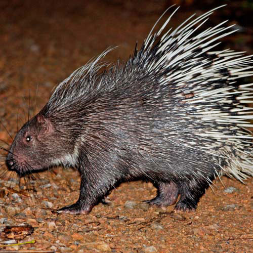 Animals answer: PORCUPINE