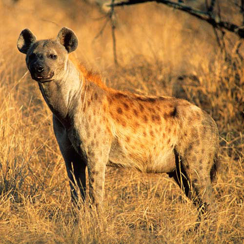 Animals answer: HYENA