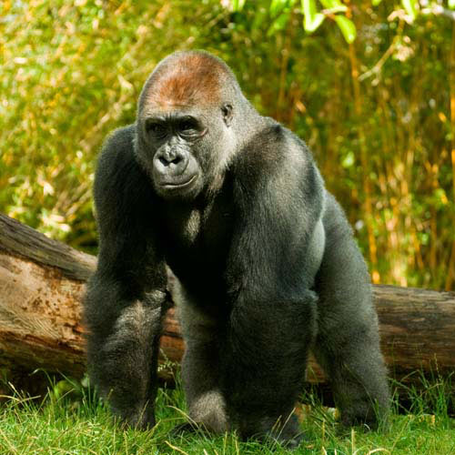 Animals answer: GORILLA