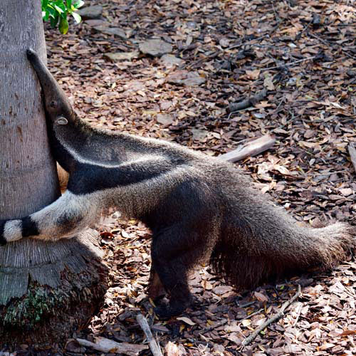Animals answer: ANTEATER