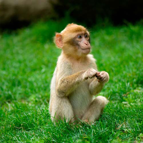 100 pics animals 3 level answer: monkey