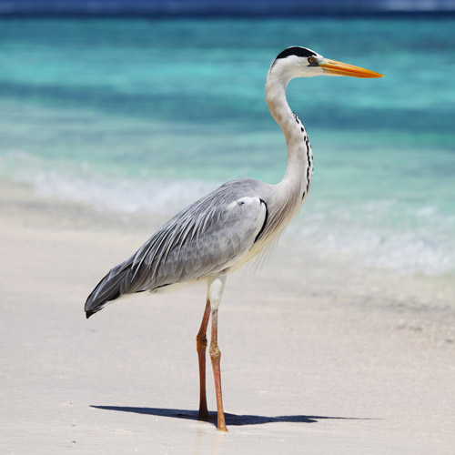 Animals answer: HERON