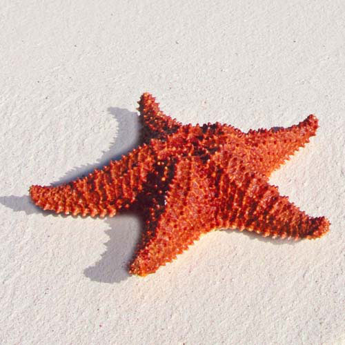 Animals answer: STARFISH