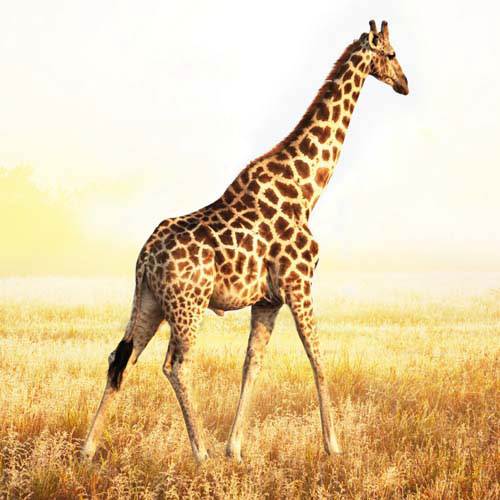 Animals answer: GIRAFFE