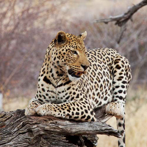 Animals answer: LEOPARD