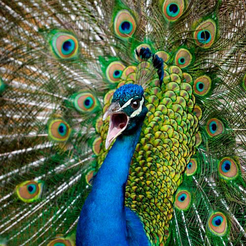 Animals answer: PEACOCK