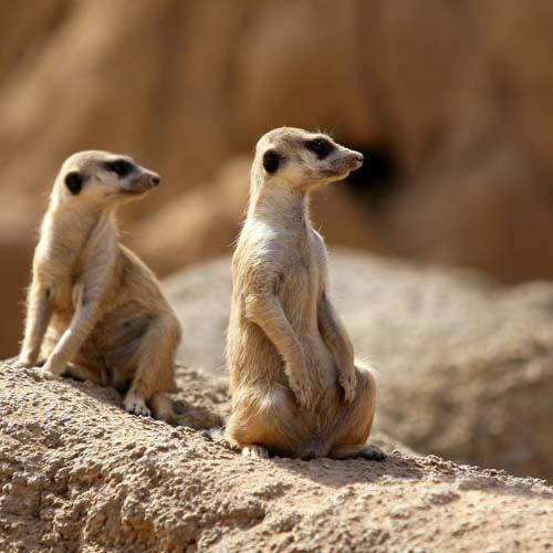 Animals answer: MEERKAT