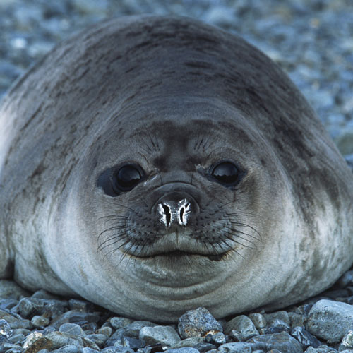 Animals answer: SEAL