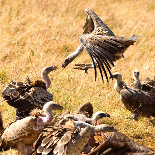 Animals answer: VULTURE