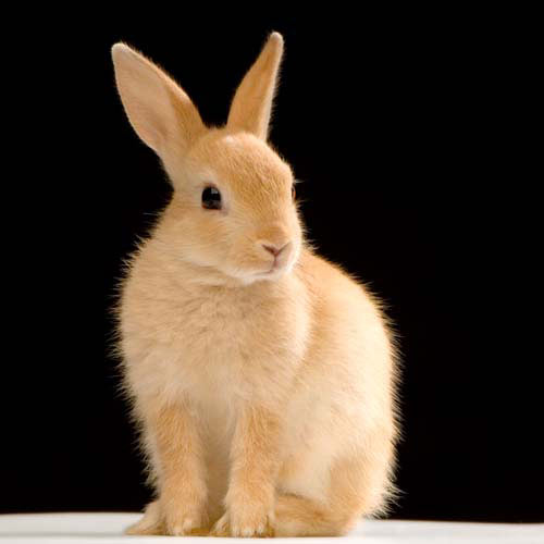 Animals answer: RABBIT