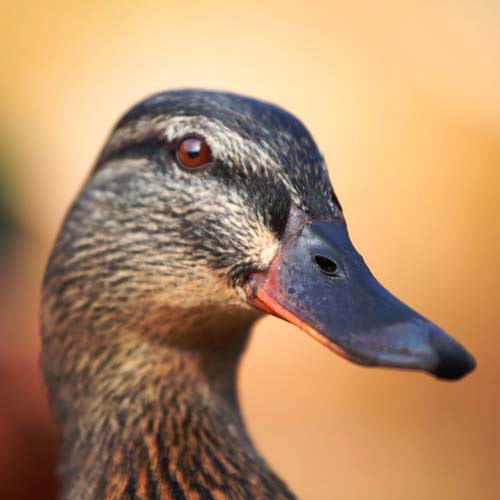 Animals answer: DUCK