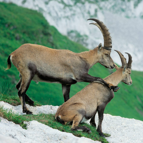 Animals answer: IBEX