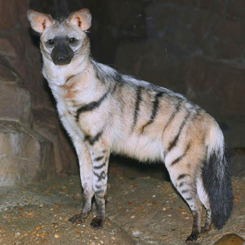 Animals answer: AARDWOLF