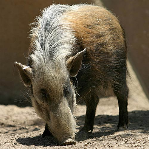 Animals answer: BUSHPIG