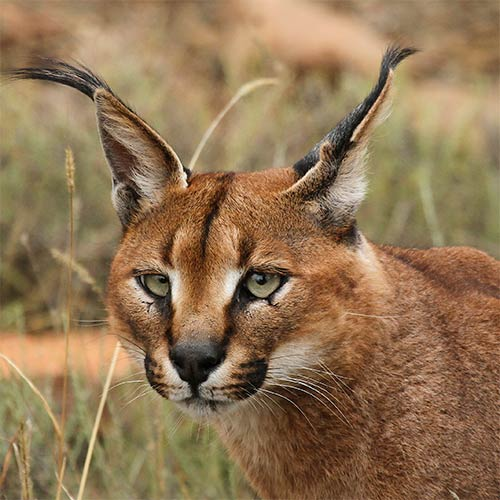 Animals answer: CARACAL