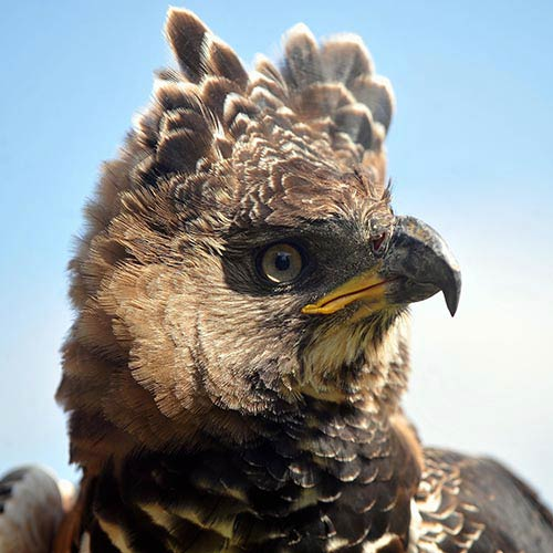 Animals answer: CROWNED EAGLE