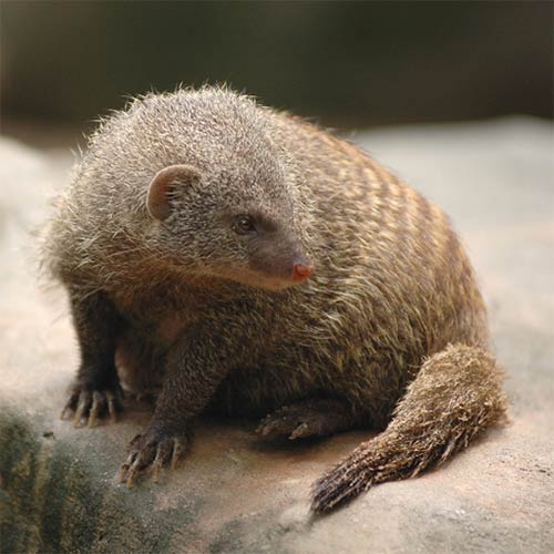 Animals answer: MONGOOSE