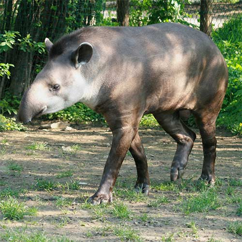 Animals answer: TAPIR