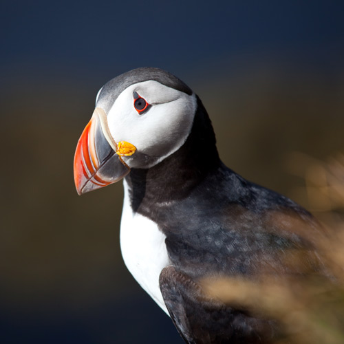 Animals answer: PUFFIN