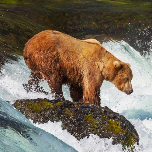 Animals answer: BROWN BEAR