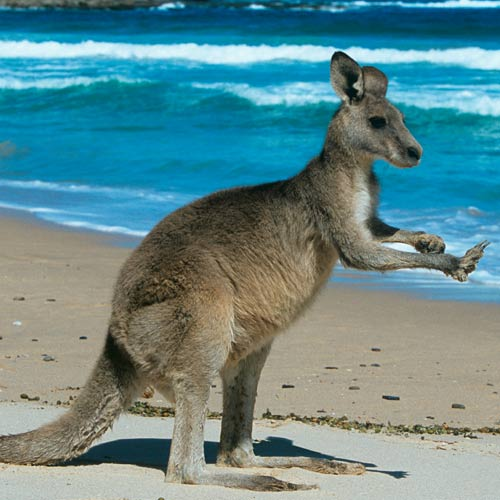 Animals answer: KANGAROO
