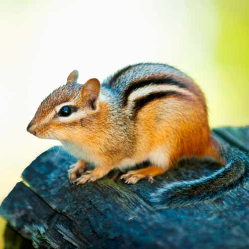 Animals answer: CHIPMUNK