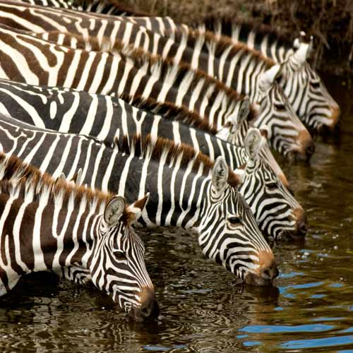 Animals answer: ZEBRA